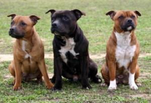 Staffordshire_Bull_Terrier_Neutering